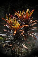 20120419-4840 Codiaeum variegatum (L.) Rumph. ex A.Juss.