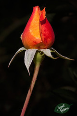 174/366: Orange & Red Rosebud