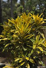 20120419-4827 Codiaeum variegatum (L.) Rumph. ex A.Juss.