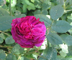 rose Jacqueline Vibert