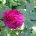 rose Jacqueline Vibert