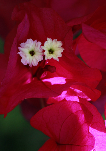 Fleurs de Bougainvillée