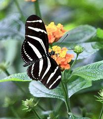 Zebra-Falter