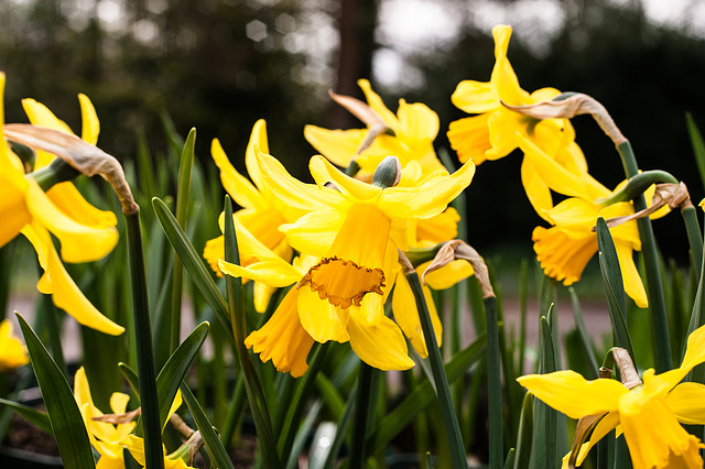 Daffodils at Lacock Abbey