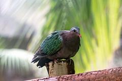 Pigeon in the Islands exhibit.