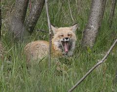 je baille / I am yawning