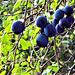 Wow damsons met me when I went onto the garden