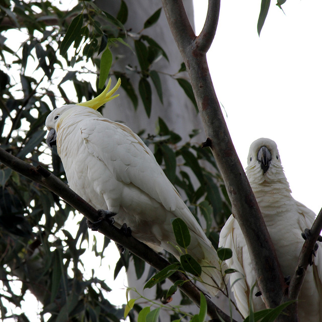 167/365 Cockatoos in the white gum tree