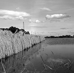 Drying rice crop
