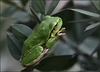 The European tree frog - Hyla arborea 2014 S 2201 Ludine 095 Gatalinka
