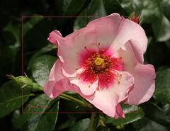 Temps des roses - time of roses ~