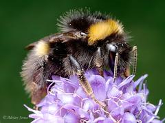 Bumble Bee (Bombus pratorum).