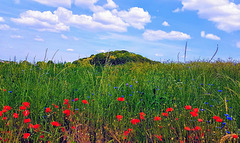Poppies & Cornflowers impatient in the wind on my way