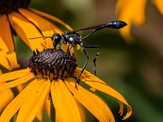 8254795dL Wasp on black-eyed susan flower