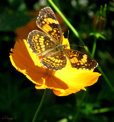 Silvery Checkerspot ....