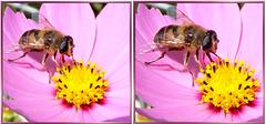 Hover fly's proboscis work... ©UdoSm