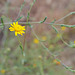 Pulicaria paludosa, Asterales