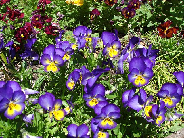 Purple Pansies.`