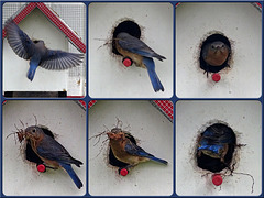 The Eastern Bluebirds are back !
