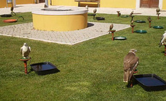 Birds of prey displayed on the yard.