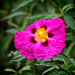 Cistus with Water Droplets