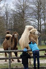 Kamele (Wilhelma)