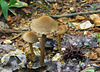 Brown Mushroom Trio
