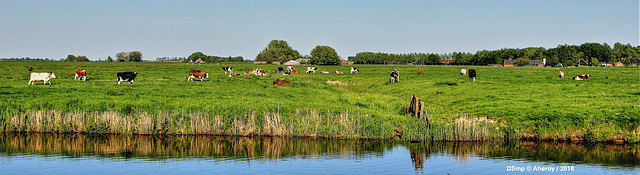 Cows & Groninger Landschap,the Netherlands,Europe