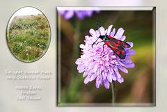 A Six-spot Burnet Moth - Friston - Sussex - 22.7.2015