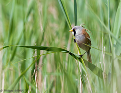 Panure à moustaches (Panurus biarmicus - Bearded Reedling)