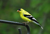 Goldfinch - A Male in Summer Plummage
