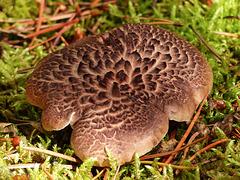 Shingled/Scaly Hedgehog fungus / Sarcodon imbricatus?