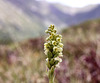 weisse Höswurz - Orchidee
