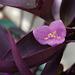 Tradescantia pallida, 'Purple Heart'