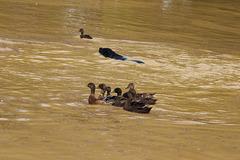 les pauvres canards