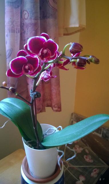 Une toute nouvelle orchidée s'est invitée chez moi pour célébrer ce printemps tout neuf !