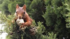 Ecureuil roux mâle