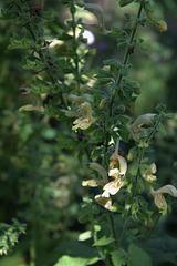 Salvia glutinosa (1)