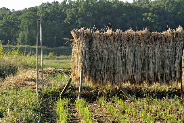 Drying rice plant