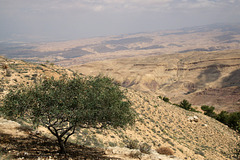 The wild olive on Mount Nebo