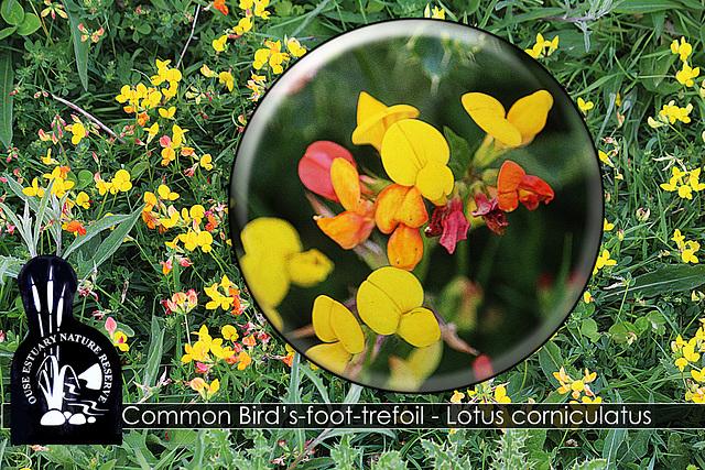 Common Bird's foot trefoil - Ouse Estuary Nature Reserve - Denton - Sussex - 15.6.2015