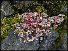 Sedum dasyphyllum (2)