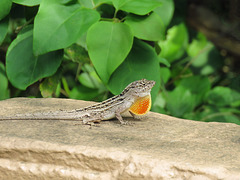 Day 7, Brown Anole with extended dewlap, Estero Llano Grande SP