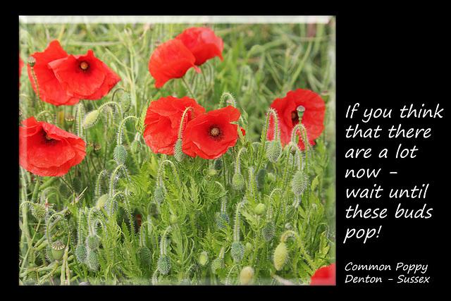 Common Poppy buds - Denton - Sussex - 15.6.2015