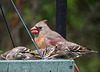 Northern Cardinal - Female with Pine Siskins