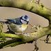 Blue Tit / Pimpelmees (Cyanistes caeruleus)