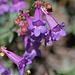 Penstemon Azureus, a California Wildflower