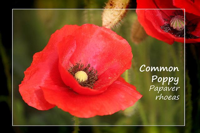 Common Poppy - Denton - Sussex - 15.6.2015