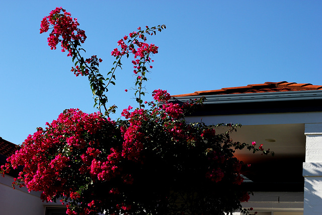 169/365 bright bougainvillea