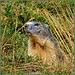 Sauze d'Oulx : La marmotta - (855)